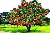 Tree Seeds : Saraca Asoca – Sita Ashok, Sorrowless Tree Sacred Tree Of India Seeds – 2 Seeds For Growing By Creative Farmer