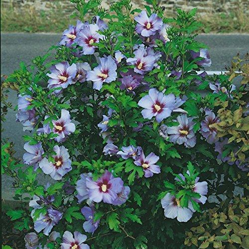 """Dominik Blumen und Pflanzen, Hibiskus """"Oiseau bleu"""" zum Stämmchen gezogen, blau blühend, 1 Pflanze,   15 – 20 cm Krone, ca. 80 cm hoch,  2 Liter Container, plus 1 Paar Handschuhe gratis"""