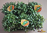 Golliwoog - Futterpflanze für Bartagamen, Vögel , Meerschweinchen, Kaninchen