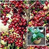 Vendita calda! 15 pc Coffea Arabica Semi di caffè tostato Tropical Bonsai, Semi perenne frutta Caffettiere domestiche giardino delle piante