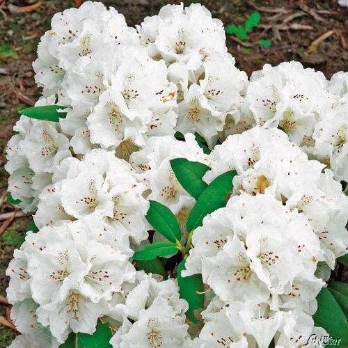 Ball-Rhododendron 'Schneekrone'