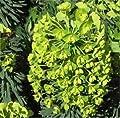 Palisaden Wolfsmilch Humpty Dumpty - Euphorbia characias von Baumschule auf Du und dein Garten