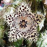 100pcs Stapelia Samen Lithops Mix Succulents Rohstein Kakteensamen Seltene Frische Bonsaipflanzen für Haus und Garten Blumentöpfe Pflanze