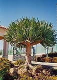Tropica - Drachenbaum (Dracaena Draco) - 5 Samen