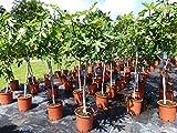 Feigenbaum 180 cm Gota de Miel od.Napolitana winterhart, Ficus Carica, Feige