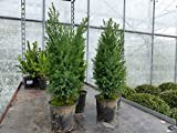 "50 Premium winterharte Koniferen 25 - 40 cm ""Ellwoodii"" Zypressen Heckenpflanze Konifere Thuja Hecke"