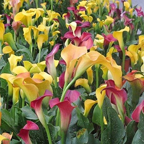 mark8shop 100Garden Blumenzwiebeln Topfpflanzen Zantedeschien Sandlaufkäfer Blumensamen