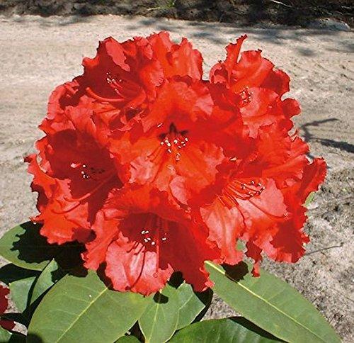 Großblumige Rhododendron Red Jack 30-40cm - Alpenrose