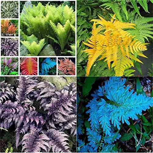 Tomasa seedhouse- 100 pezzi raramente felce semi perenni felci all'aperto piante da interno pteridophyta piante semi hardy erba perenne piante per balcone, giardino