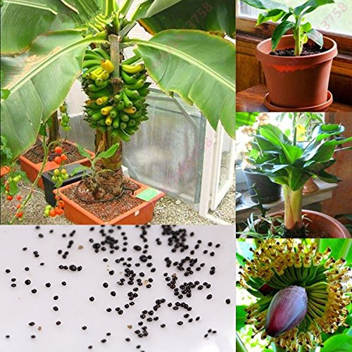 BigFamily 100 Pcs/Sac Nain Banane Arbre Graines Mini Bonsaï Exotique Maison Jardin Plantes Fruits