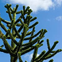 Araucaria araucana Monkey Puzzle Tree - Large Size 50-60cm Tall in a 5L Pot
