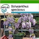 SAFLAX - Bonsai - Afrikanischer Blauregen - 15 Samen - Mit Substrat - Bolusanthus speciosus