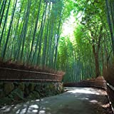 Soteer Garten- 20/30 Stücke Riesen Moso Bambus Samen (Phyllostachys edulis/pubescens) Heterocycla Zierpflanze Saatgut winterhart mehrjaehrig kommen aus China (20 Korn)