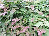125 Stück Heckenpflanzen Feldahorn (acer campestre) Wurzelware 50-80 cm