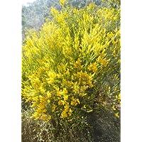 TROPICA - Hundezahn-Akazie ( Acacia cultriformis ) - 50 Samen