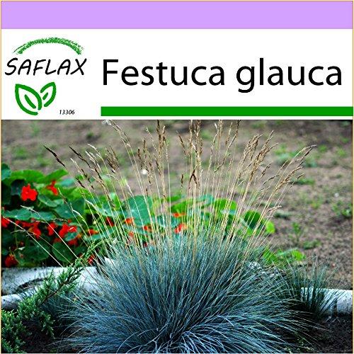 SAFLAX - Festuca azzurra - 50 semi - Festuca glauca