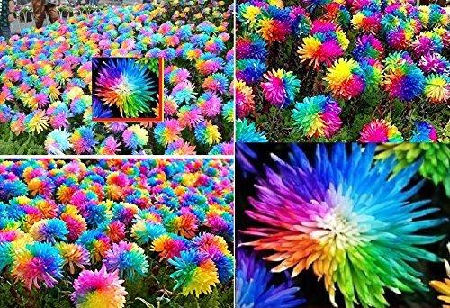 25x Bunte Blumen Samen Regenbogen frisches Saatgut Blumensamen frisch Hingucker Pflanze Blumen Rarität Garten Neuheit #94