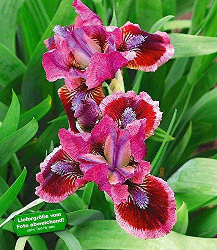 Pflanzen Iris (BALDUR-Garten Iris 'Cat`s Eye®', 3 Knollen Iris pumila)