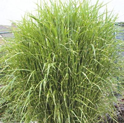 lichtnelke - Zebraschilf / Miscanthus sinensis ' LITTLE ZEBRA ' Tb9 von Lichtnelke Pflanzenversand - Du und dein Garten
