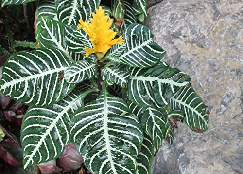 Zebra plant used as a house plant.: Aphelandra squarrosa (English Edition)