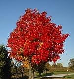 Seedeo Rotahorn (Acer rubrum) 30 Samen