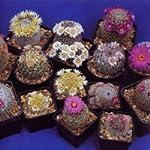 Tropica - Cactus - Mammilaria Mix (Mammilaria) - 100-semi