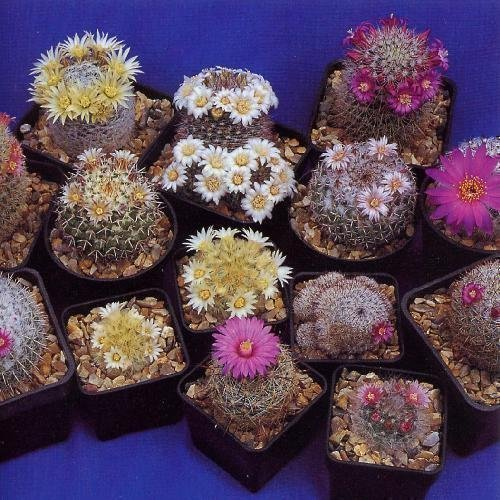 Tropica - Kakteen - Mammilaria Mischung (Mammilaria) - 100 Samen