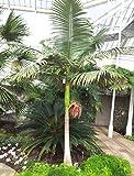 Bangalowpalme 90-100 cm - Archontophoenix cunninghamiana - Piccabeen-Palme -Feuerpalme /