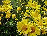 Asklepios-seeds - 2000 Samen Chrysanthemum indicum, Herbst-Chrysantheme