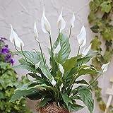 Spathiphyllum Chopin /Fleur de Lune - 1 plante