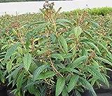 Viburnum rhytidophyllum - Runzelblättriger Schneeball - Immergrüner Schneeball - Zungen-Schneeball -