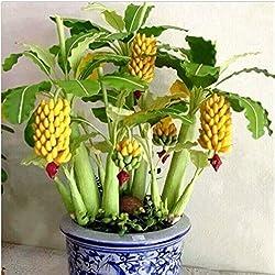 KINGDUO 30 Stk Zwerg Bananensamen Bonsai Tree Tropisch Frucht Samen Balkon Blume Für Haus Pflanzen