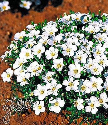 BALDUR-Garten Bodendecker winterharte Bergsandblume, 3 Pflanzen Arenaria montana von Baldur-Garten - Du und dein Garten