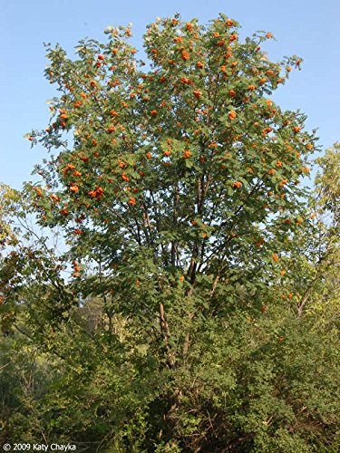 50 Samen – Europäische Eberesche Seeds (Sorbus aucuparia)