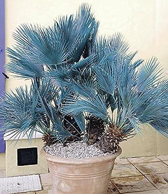 BALDUR-Garten Winterharte Blaue Zwerg-Palmen, 1 Pflanze, Chamaerops humilis Cerifera von Baldur-Garten bei Du und dein Garten