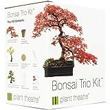 Bonsai Ficus ginseng - pot de 20cm
