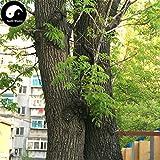 Shopmeeko Acquista Fraxinus Mandshurica Tree Semente 100pcs Pflanze Fraxinus Mandshurica Tree for Wood