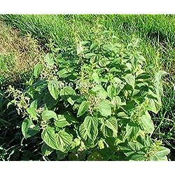 Las semillas de plantas del jardín de DIY 10 Semillas Urtica dioica Ortiga Hierbas envío gratuito
