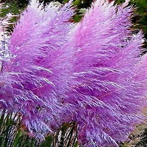 Lila Pampasgras - Cortaderia sellona - Ziergras - ca. 50 Samen zur Aussaat - Pflanze mit violetten Blüten - Gartenpflanze