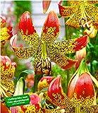 BALDUR-Garten Lilie'Fusion' 3 Knollen Lilium