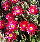Portal Cool Semi 30+ Delosperma rosso carminio/Ice Plant Ground Cover perenne fiore