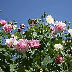 Yukio Samenhaus - 10 Stück Baumwollrose Hibiscus mutabilis Samen winterhart Blumenmeer für Ihr Garten,Balkon, Terassen, Bonsai