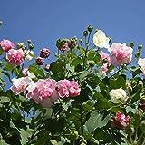 Keptei 50 Stück Hibiscus Exotic Coral Samen Seltene Blumensamen Winterhart mehrjährig Zierpflanzen Hausgarten Topf oder Garten Blume pflanzen