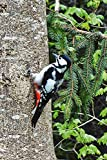 Artland Qualitätsbilder I Wandbilder Selbstklebende Wandfolie 20 x 30 cm Tiere Vögel Foto Natur C7TN Buntspecht im Wald