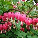 Foerster-Staude Tränendes Herz im 3er-Set rosa blühend Beetstaude winterhart Dicentra spectabilis im 0,5 Liter Topf 3 Pflanzen