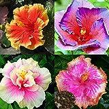 Go Garden Pink: 100Pcs seltene korallenrote Blumen Hibiscus Samen Garten Riesen-Hausgarten Pflanze Fashio