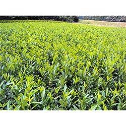 Kirschlorbeer Herbergii Containerpflanzen 60-80 cm