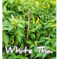 (25+) White Thai Pepper Samen Spicy