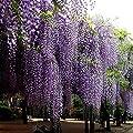 Gfone Glyzinie Samen 10 Stück Samen Baum Winterhart Mehrjährige Blumensamen Winterhart für Garten und Straßenrand von Gfone - Du und dein Garten