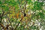 Meerrettichbaum Moringa oleifera Wunderbaum Pflanze 20cm sehr selten Behenbaum